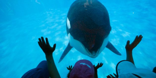 AUGUST 14, 2014. SAN DIEGO, CA. Prompted by a trainer, Sea World San Diego visitors get a closeup view...