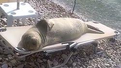 ASSISTA: Foca curte banho de sol deitada em cadeira de