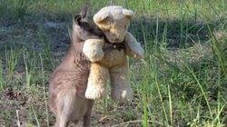 Filhote de canguru órfão faz amizade com ursinho de