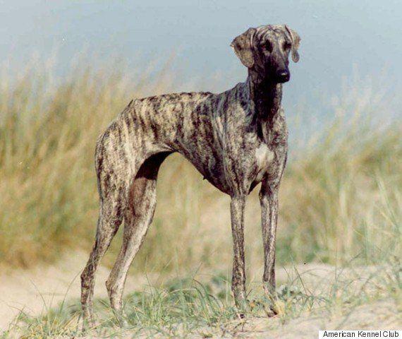Duas novas raças de cachorro são anunciadas: terrier americano sem pelo e greyhound