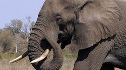 China proíbe importação de marfim como troféu de