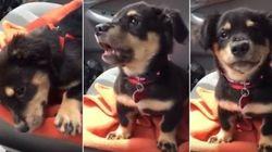 ASSISTA: Cachorrinho fica bravo por não poder se sentar no colo da