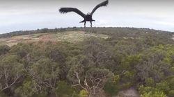ASSISTA: Águia ataca e derruba drone na