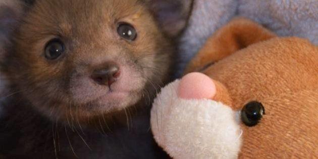 Você nunca vai amar alguém como esta raposinha ama seu ursinho de pelúcia