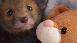 Você nunca vai amar alguém como esta raposinha ama seu urso de