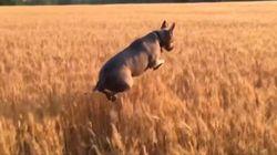 ASSISTA: 'Catioro' pulando em campo de trigo é o vídeo mais feliz de