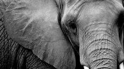 Caçador mata um dos maiores elefantes do