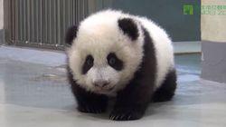 Este bebê panda aprendendo a andar vai derreter seu