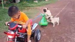 ASSISTA: Pug cai de moto de brinquedo, fica bravo e tenta derrubar