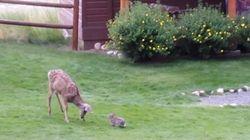 ASSISTA: Vídeo mostra veado e coelho brincando