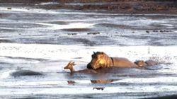 ASSISTA: Antílope tenta escapar de leões, mas é atacado por