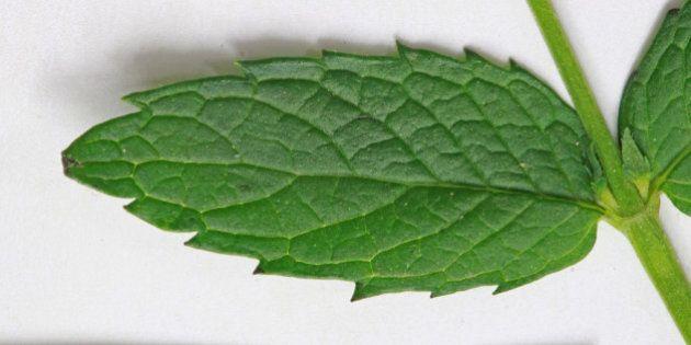 Spearmint (Mentha spicata syn. Mentha viridis), Mint family (Lamiaceae).Along the Red Butte Creek, near...