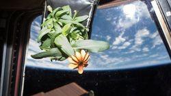 Nasa mostra fotos de flor que nasceu na Estação Espacial Internacional