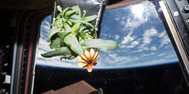 Nasa mostra fotos de flor que nasceu na Estação Espacial