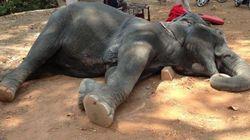 TRISTEZA: Após carregar turistas sob sol escaldante, elefante morre de