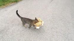 ASSISTA: Gato rouba tigre de pelúcia para ele mesmo