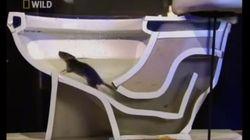 ASSISTA: Como ratos conseguem sair pelo vaso