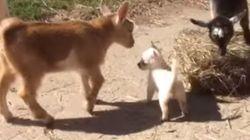 ASSISTA: Filhote de chihuahua tenta fazer amizade com
