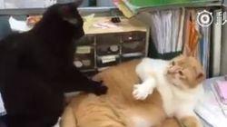ASSISTA: Apenas um 'gatíneo' fazendo massagem em outro (bem