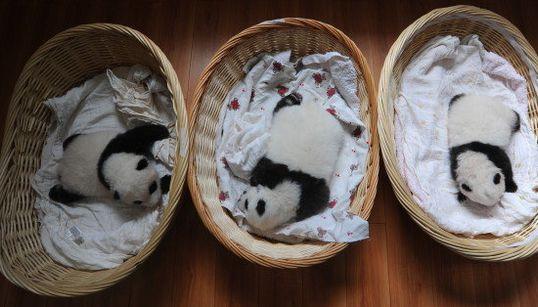 FOTOS: Estes dez filhotinhos de panda são a coisa mais FOFA que você vai ver