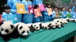 15 filhotes de panda são apresentados na