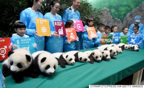 15 filhotes de panda-gigante são apresentados na