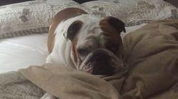 ASSISTA: Bulldog preguiçoso só sai da cama por um