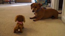 ASSISTA: Dachshund amigável se diverte com cachorro de
