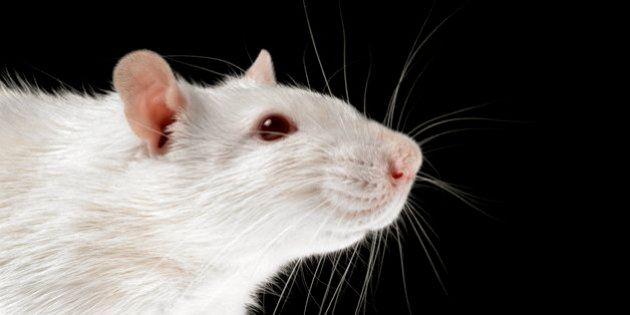 A gaiola apertada dos ratos de laboratório é péssima tanto para eles quanto para a