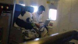 Foto de panda sentado em poltrona de avião ~engana~