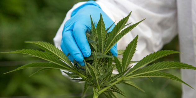 An Israeli woman works on marijuana plants at the BOL (Breath Of Life) Pharma greenhouse in the country's...