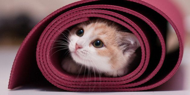 White and beige-colored kitten inside red rolled up yoga mat on white reflective