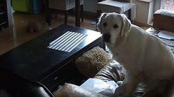 ASSISTA: Cachorro é fofo até quando DESTRÓI sala da dona enquanto está