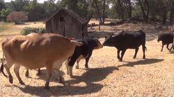 ASSISTA: Vacas acolhidas em abrigo ficam felizes com a chegada de novas