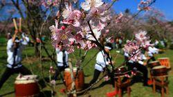 FOTOS: Festa das Cerejeiras celebra cultura japonesa em