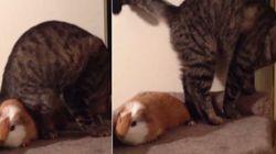 ASSISTA: Porquinho da índia rouba lugar de gato e animal fica