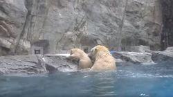 ASSISTA: Filhote de urso polar cai na água e mamãe corre para
