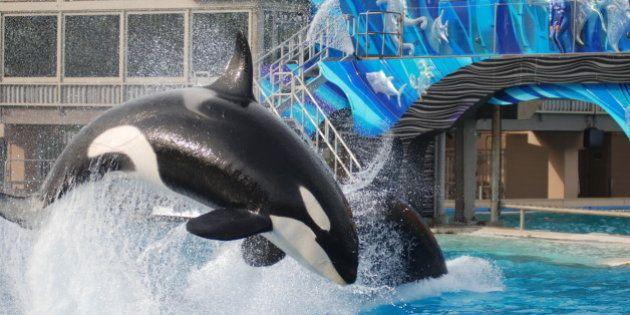 SeaWorld San Diego anuncia para 2017 fim de shows acrobáticos com baleias