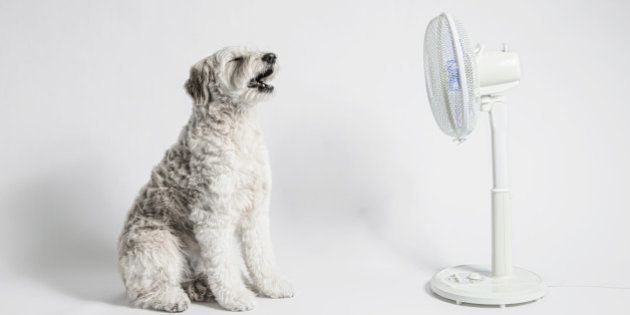 The dog and fan in the white back.