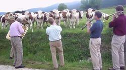 ASSISTA: Vacas ficam encantadas com apresentação de músicos de