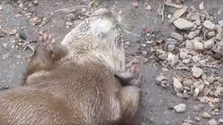 ASSISTA: Esta lontra feliz brincando com pedrinhas vai animar seu