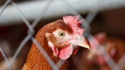 Os grandes avanços para os animais criados para consumo humano no Brasil em