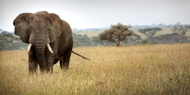African elephant (Loxodanta africana) The Serengeti National Park is a Tanzanian national park in the...