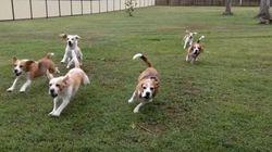 Beagles correndo atrás de carrinho de controle remoto inauguram 'novo' exercício
