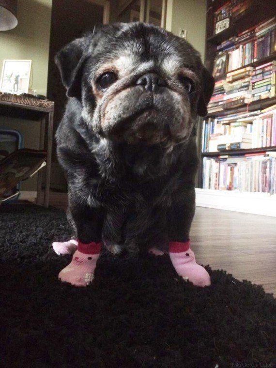 Com medo do chão liso, esta pug voltou a ser feliz depois de ganhar meias de sua dona