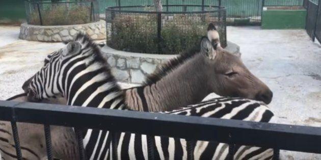 Essas duas zebras coçando as costas mostram o que é parceria de