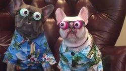 ASSISTA: Tente não dar um sorriso ao ver estes bulldogs fofíneos com óculos de