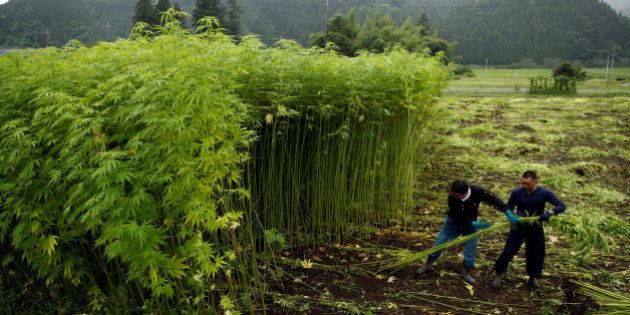 Men harvest marijuana plants to extract the hemp fiber that is often used in traditional Japanese clothes...