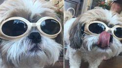Cachorro usa óculos sob recomendação médica e se torna ~ícone de
