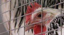 Burger King anuncia fim do confinamento extremo de animais em